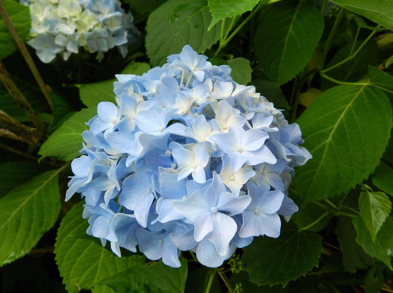 """Hydrangea macrophylla (alien)<br /> <br /> '...how one feels a small life's shortness.' ~ Rilke, """"Blaue Hortensie"""" -- """"Blue Hydrangea"""""""