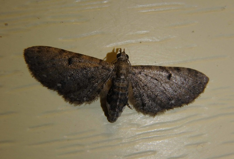Common Pug -- Eupithecia miserulata Hodges# 7474 MPG 218275