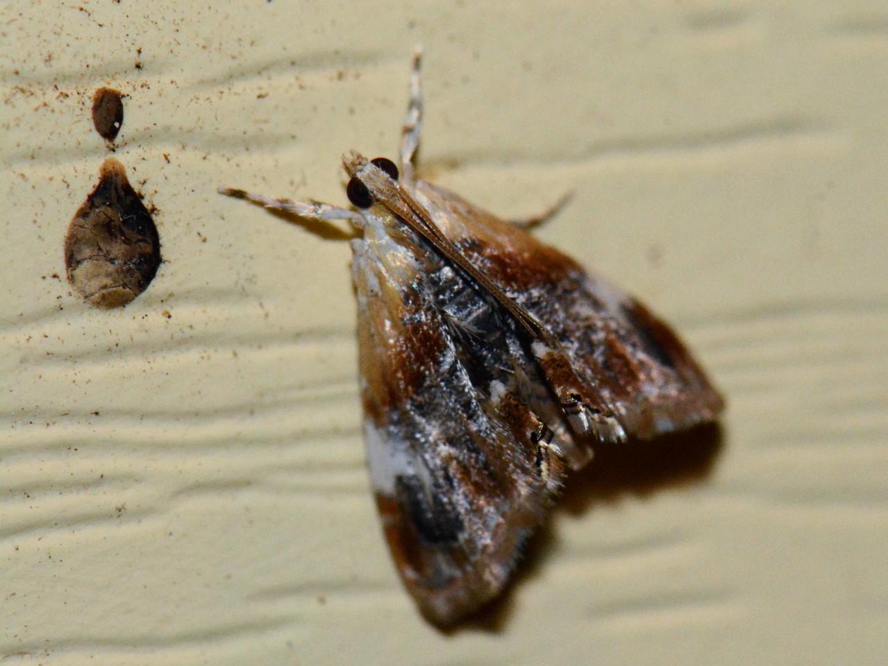 next to something curious, a Dicymolomia metalophota, Hodges# 4890, MPG 146950
