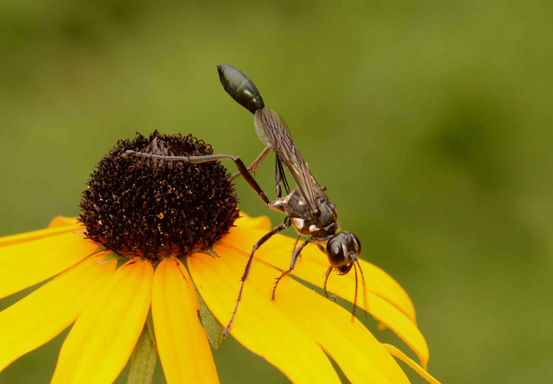 Thread-Waisted Wasp -- Eremnophila aureonotata. These wasps hunt caterpillars of moths and butterflies.