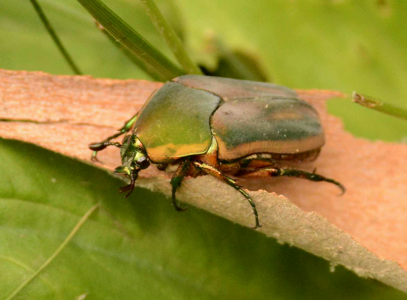 "Green June Beetle -- Cotinus nitida, Family Scarabaeidae<br /> <br /> ""The real problems facing this planet are not economic or technical, they are philosophical."" ~ E.F. Schumacher"