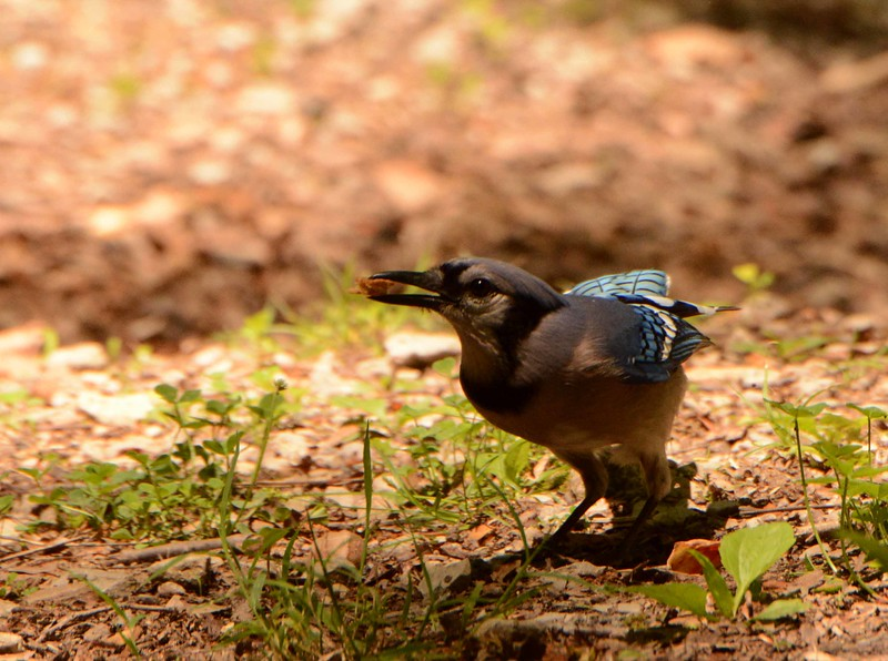 "Blue Jay -- Cyanocitta cristata, locating picnic leftovers<br /> <br /> 'I am grateful, violins, for this day<br /> of four chords. Pure<br /> is the sound of the sky,<br /> the blue voice of air.' ~ ""I am Grateful"" by Pablo Neruda"