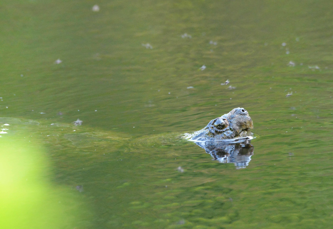 Common Snapping Turtle -- Chelydra serpentina
