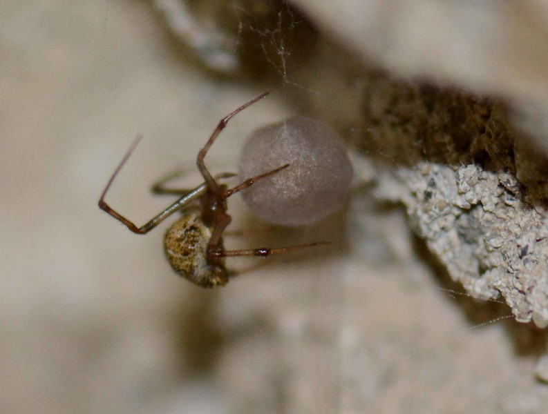 i think this is your American/Common House Spider (f) -- Parasteatoda tepidariorum, Family Theridiidae, Cobweb Spiders.