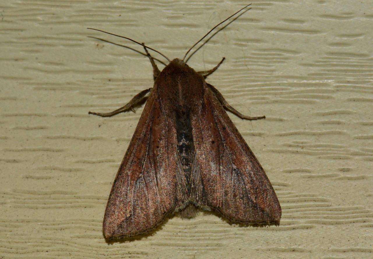 "Armyworm Moth -- Mythimna unipuncta, Hodges# 10438, MPG 932935<br /> <br /> ""Imagination is more important than knowledge."" ~ Albert Einstein"