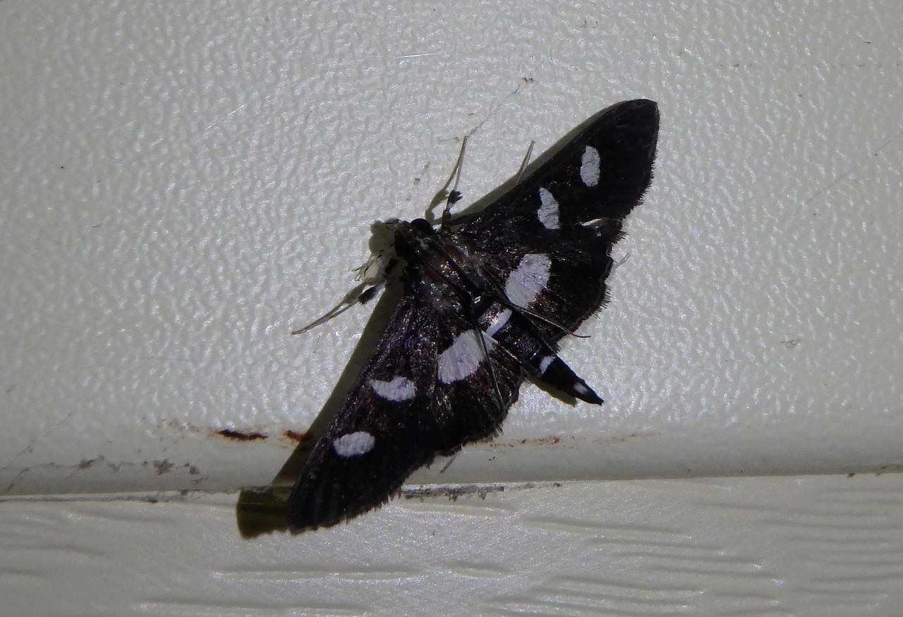 Grape Leaffolder -- Desmia funeralis, Hodges# 5159 MPG 154325
