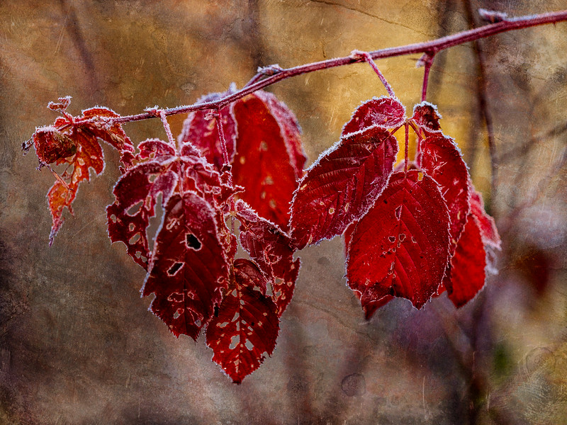 Frosty Raspberry Leaves