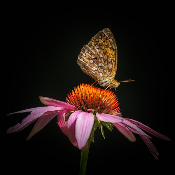Fritillary on Echinacea