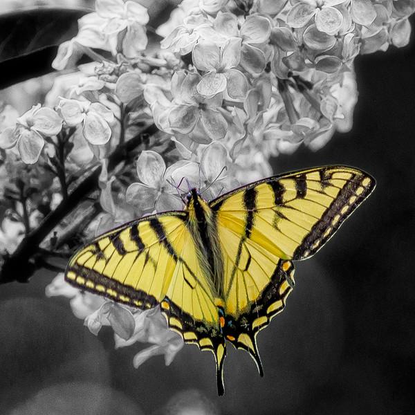 Yellow Tiger Swallowtail