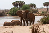 Elephants. John Chapman.