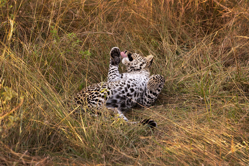 Leopard grooming itself.