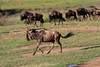 Wildebeest on the Migration.