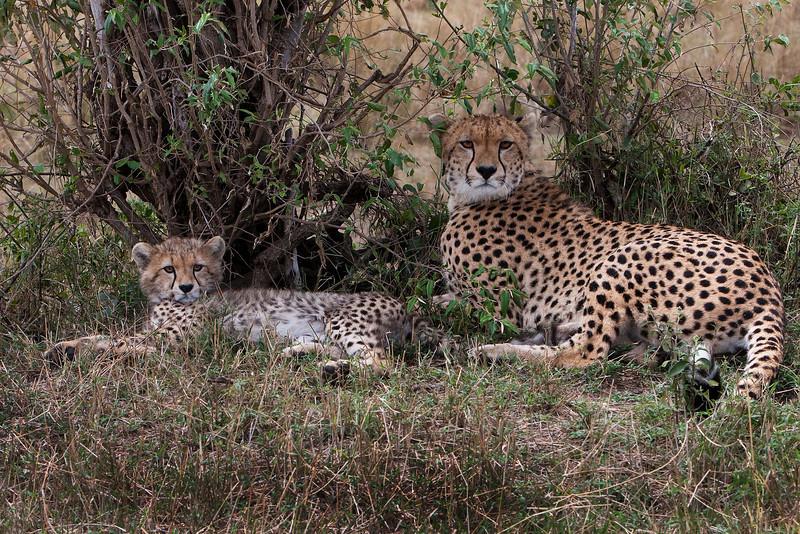 Mother Cheetah and Cub. John Chapman.