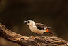 White Headed Buffalo Weaver Bird.