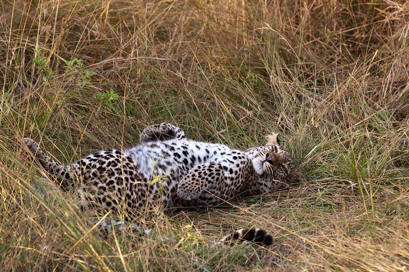 Leopard relaxing. John Chapman.