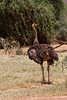 Juv Ostrich.