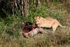Lion Cub Feeding.