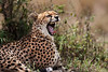 Cheetah Yawning.