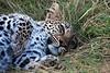 Leopard Relaxing..John Chapman.