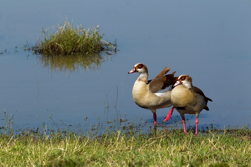 Egyptian Geese.