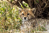 Baby Cheetah.