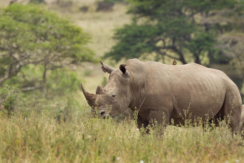 White Rhino with a Cow Bird on it's back. John Chapman.