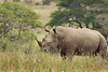 White Rhino with a Cow Bird on it's back. John Chapman.