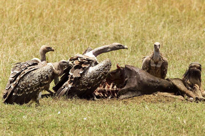 Griffon Vultures.