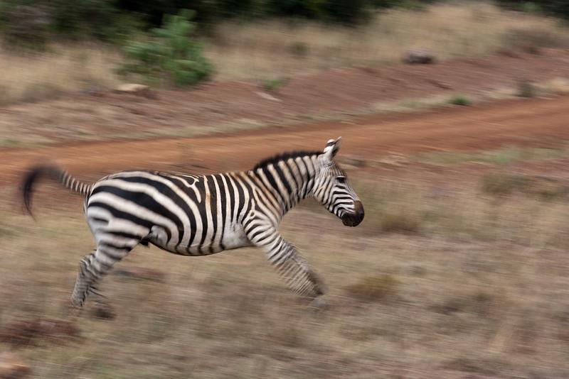 Zebra in motion.