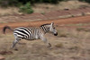 Zebra in motion.