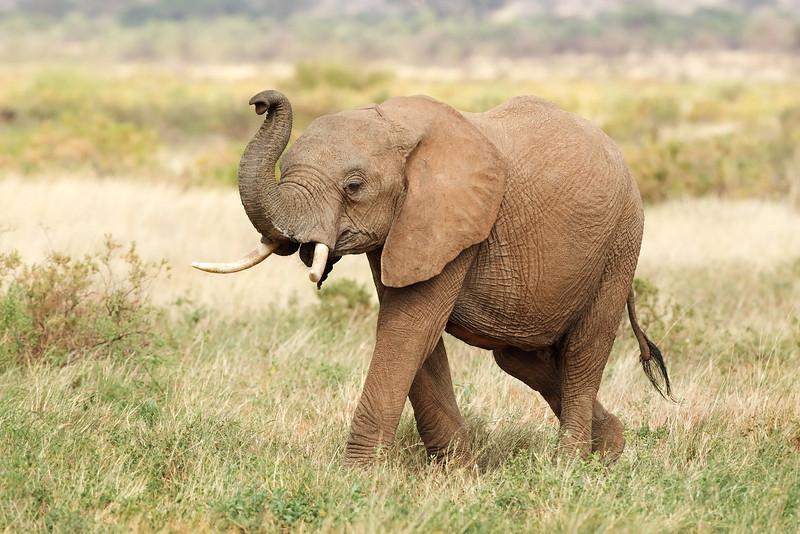 Elephant. John Chapman.