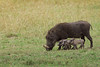 Wart Hog with Family.