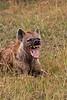 Hyena. John Chapman.