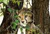 Baby Cheetah up a tree.
