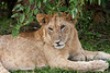 Female Lioness.