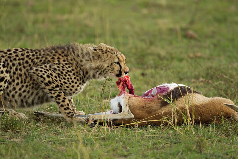 Cheetah on kill. I hope this picture doesn't  upset anybody. It is Nature.