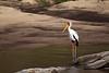 African Wood Stork. John Chapman.