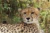Portrait of a Cheetah. John Chapman.