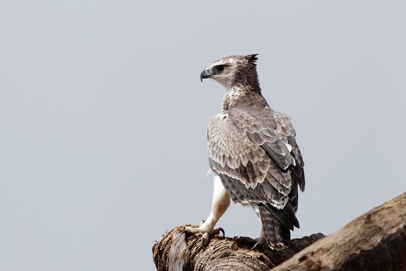 African Crowned Eagle Kenya.