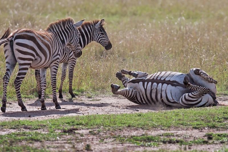 """Zebras. """" You always get one """""""