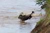 Wildebeest in migration. John Chapman.