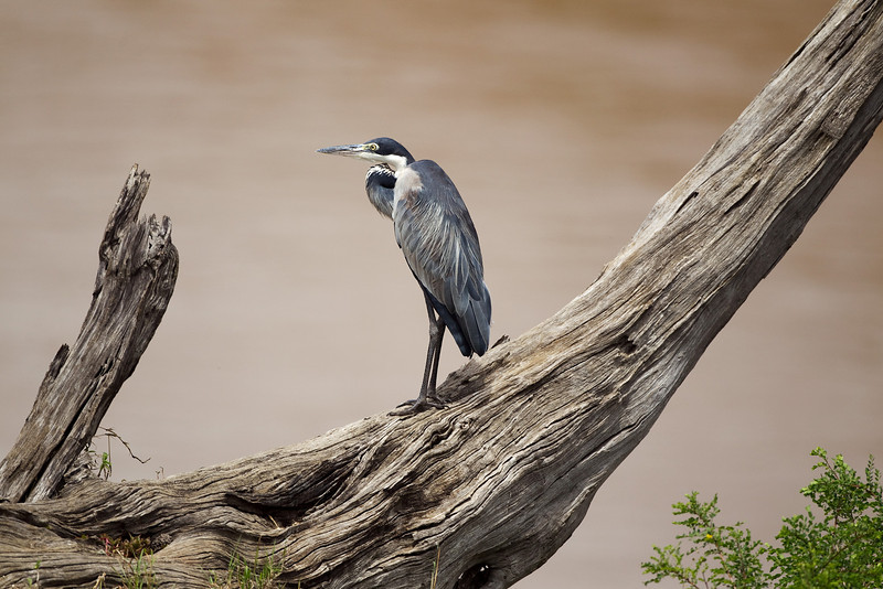 I Think this is a Kenyan Grey heron. If somebody knows the correct name Please get in touch.