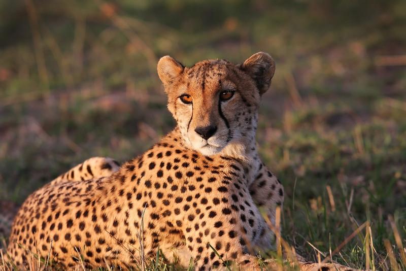 Cheetah. John Chapman.