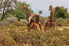 Reticulated Giraffes. Sub Species. John Chapman.