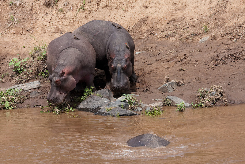 Hippos with Oxpeckers on their Backs.