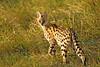 Serval Cat. John Chapman.