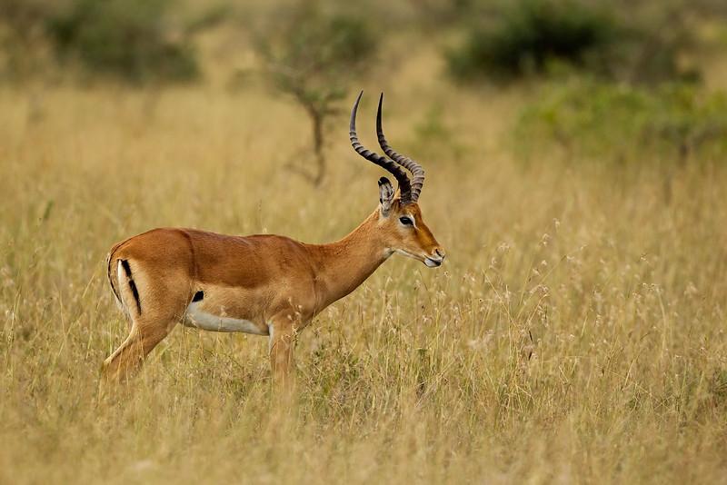 Impala. Kenya. John Chapman.