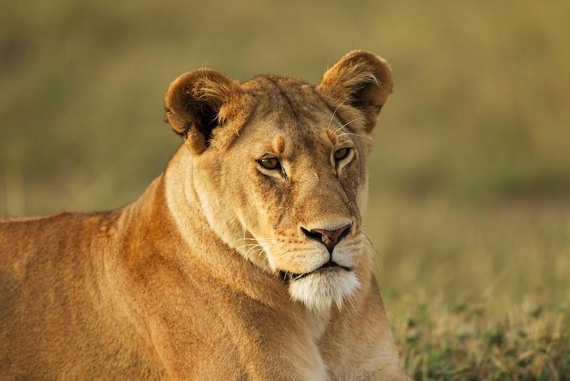 Female Lion. John Chapman.