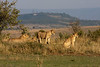 Pride of Lions. 1 of the big 5 in Africa. John Chapman.
