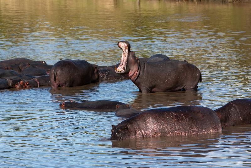 Hippos. Yes you always get one!!!! John Chapman.